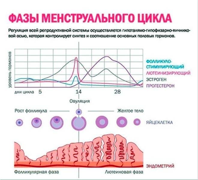 Своевременному выходу яйцеклетки из фолликула способствуют гормоны