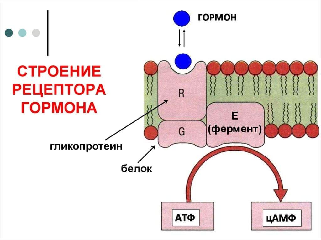 Дефект клеточных рецепторов – основная причина синдрома резистентных яичников