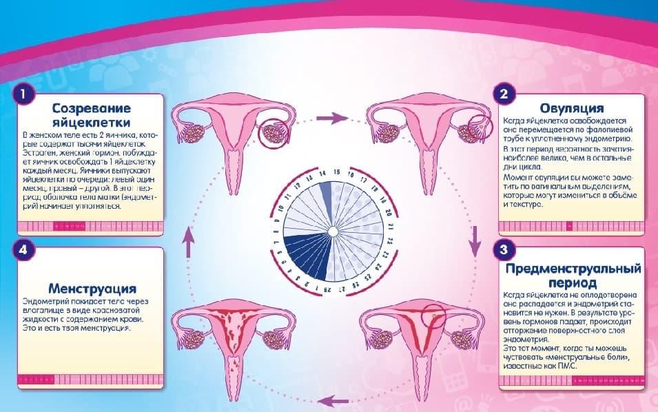 Что происходит у женщин в организме во время менструального цикла