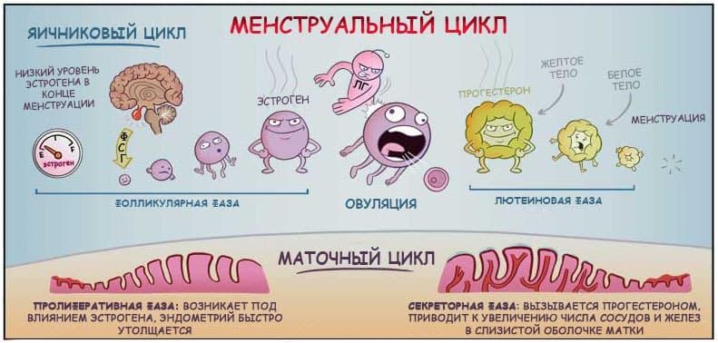 Всего выделяют 3 фазы менструального цикла