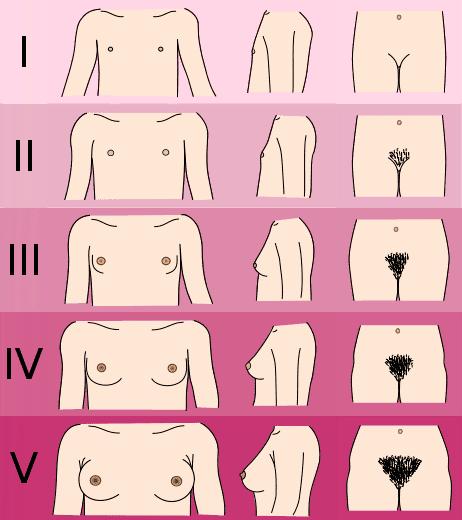 Прежде, чем начнут идти месячные, тело девочки приобретает женские черты