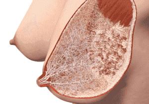 нормальная структура молочных желез