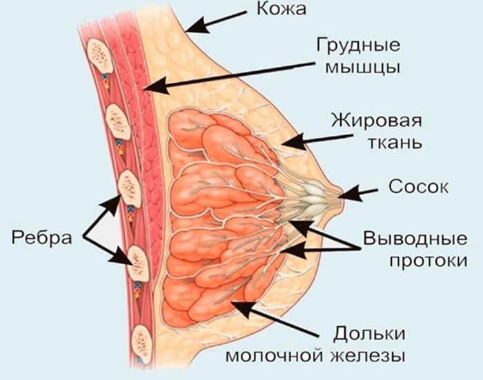 Схематичное строение молочной железы