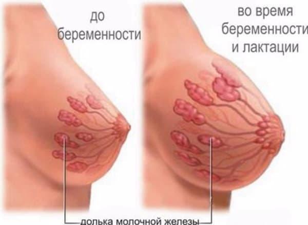Строение молочных желез до и во время беременности