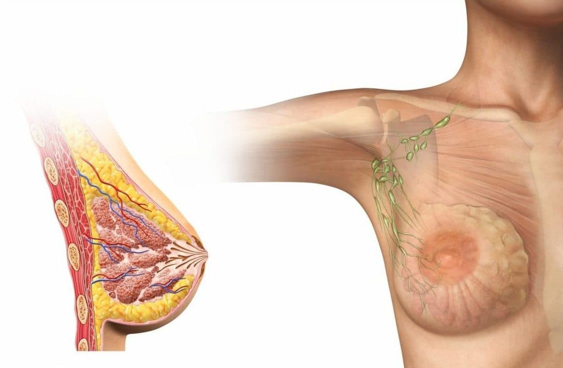 анатомия груди