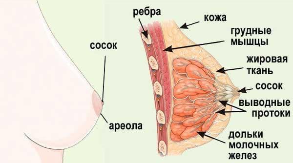 Анатомическая структура молочной железы